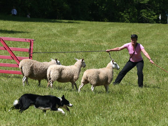 Michelle Higgins of South Canaan, PA competes with her border collie Flint during the Fosterfields Sheepdog Trials back at Fosterfields Living Historic Farm after a nine year absence, June 7, 2014, Morristown, NJ. Photo by Bob Karp