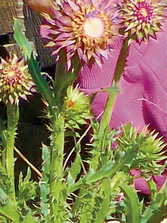 A musk thistle, a member of the sunflower family, is showing its color at the beginning of a second year of growth.