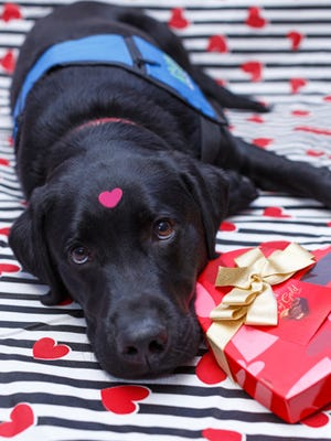 Charlie is a service dog in training with Indiana Canine Assistant Network. The black lab came by IndyStar last week to deliver Puppy Love Valentine boxes. Orders will be taken until midnight Feb. 8.