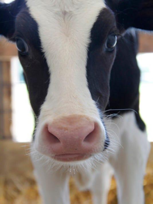 calf-closeup-vert-336x504.jpg
