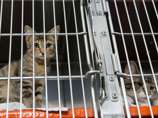 Cats sit in their cage waiting to be adopted at New Hope Animal Rescue in Henderson, Ky.