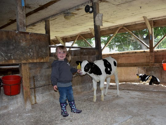 Three-year-old Maggie Atherton loves to visit the calves in the barn at Aires Hill Farm in Berkshire.