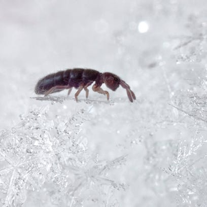 Snow fleas are more interesting and important than their small size would indicate