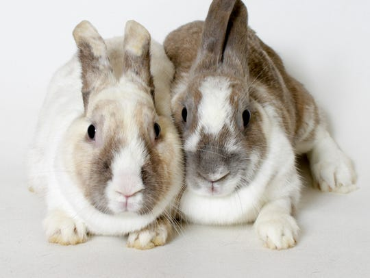 Humane Society of the Treasure Coast recently assisted with two large-scale rabbit rescues, one from Las Vegas, Nevada, and one from Boynton Beach.  Sahara and Gem (pictured) were rescued from Las Vegas.
