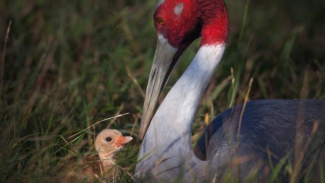 Sarus Cranes Chandini and her chick, Curry.
