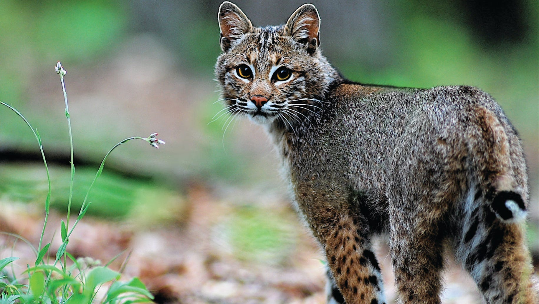 Missouri Turkey Hunter Kills Bobcat That Pounced On His Head