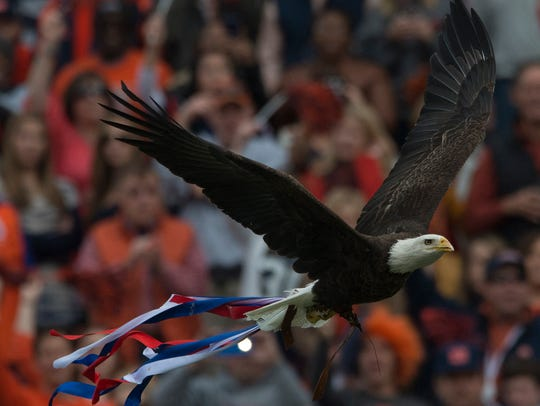 Spirit, a bald eagle, flies into the stadium before
