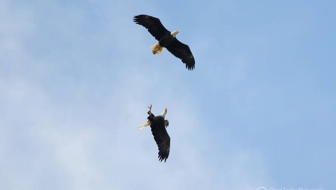 Ozzie and another male eagle do battle over the Bayshore Road nesting site Sunday.