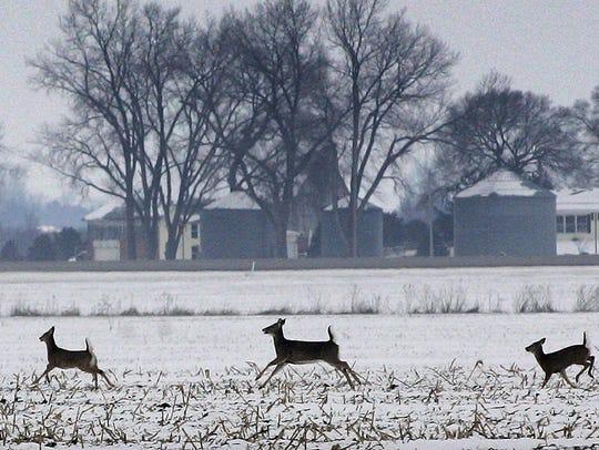 White tail deer gallop across a corn field in January