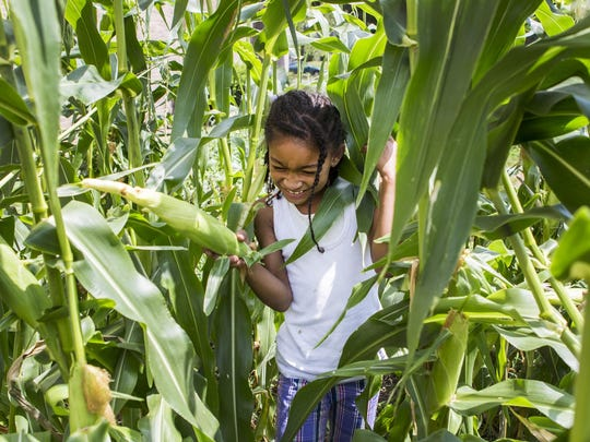 Aaliyah Wilmoth, 8, navigates the stalks after picking an ear of corn in the Warner Elementary School garden on Monday afternoon.