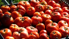 Tomatoes are harvested at Wellspring Farm.