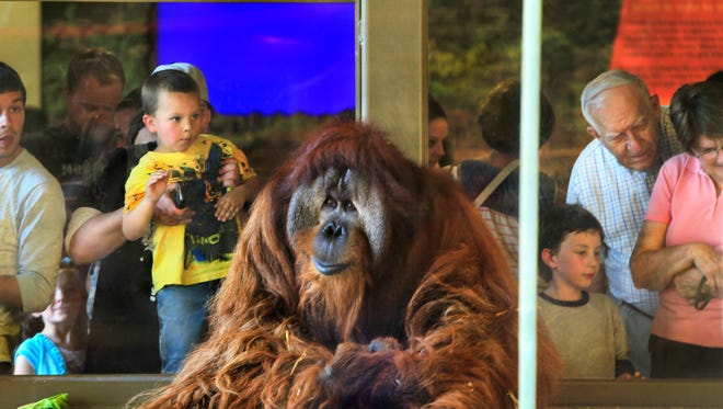 Mark Haney, Indianapolis, holds his 5-year-old son Landon up to the viewing window to get a close look at Azy, one of the eight orangutans in the Indianapolis Zoo's new Simon Skjodt Orangutan Center, which held the first of three previews for zoo members on Wednesday, May 21, 2014. Two more will be held on Thursday and Friday afternoons before the Center opens to the public Saturday morning.