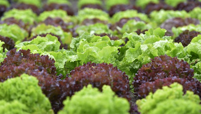 A picture taken on September 29, 2017 shows lettuce at the Varieties Study Sector (Secteur d'Etude des Varietes - SEV) of the Group of Study and control of varieties and seeds (Groupe d'Etude et de controle des Varietes Et des Semences - Geves) in Brion, western France.  In Anjou, hundreds of seeds candidate for germination have been controlled for 30 years in all seams, from the DNA to the pericarp (envelope), before obtaining the right to spread throughout Europe. Behind the discrete walls of glass and concrete of the GEVES (Study and Control Group of varieties and seeds), in the suburbs of Angers, the seeds pass numerous tests. / AFP PHOTO / LOIC VENANCE        (Photo credit should read LOIC VENANCE/AFP/Getty Images)