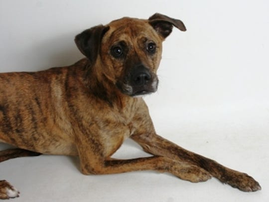 Daisy Mae is a female, 3-year-old, brindle, shepherd and mountain cur mix. She is easy to handle, knows commands for sit and down, and is rated for a family with children ages 8 and older. A proper introduction with any other dogs in the household is required. All feline and canine adoptions include spaying or neutering, vaccinations and a microchip. Visit Haven Humane Society, 7449 Eastside Road, Redding. Call 241-1653. Go to www.havenhumane.net.