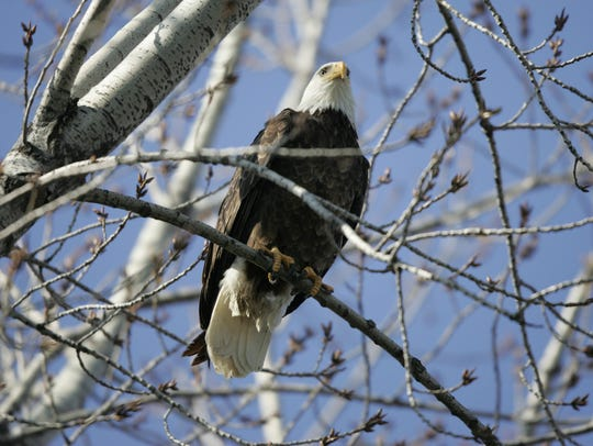 A wild bald eagle believed to be male sits in a treetop