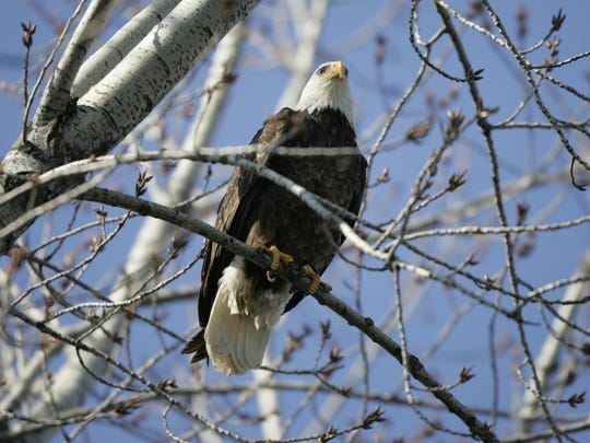 A wild bald eagle believed to be male sits in a treetop at the Indianapolis Zoo. The wild eagle appeared at the Zoo over the weekend and has been roosting in a treetop nearby the female bald eagles on exhibit.