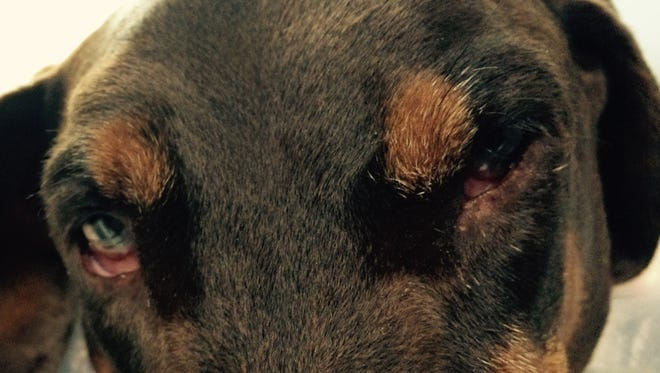 The big eyes of Mister, a large red Doberman who always considered himself a lap dog. Mister died in less than a week after being diagnosed with lymphoma.