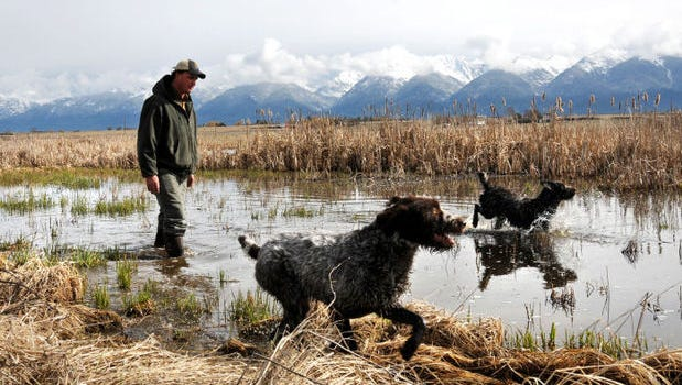 Dan Bailey, statewide coordinator for Pheasants Forever, runs his dogs on the edge of a wetland just east of Charlo on Tuesday that, four years ago, was a hay field. A cooperative effort involving the group, the U.S. Fish and Wildlife Service and Montana Fish, Wildlife and Parks is aimed at renovating habitat for grassland birds in the Mission Valley.