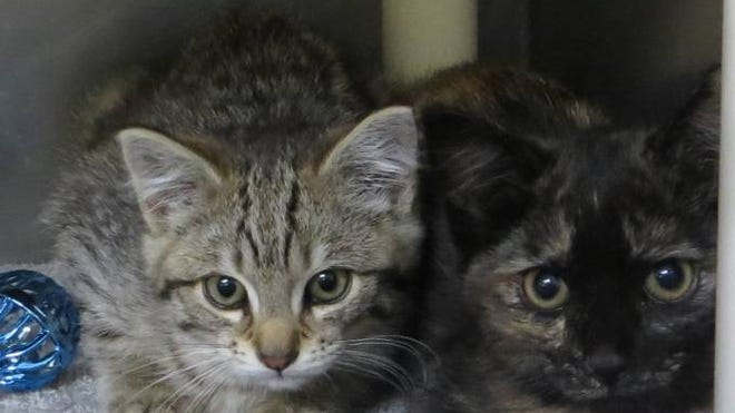 This 17-week-old pair of bonded sister kittens need a home where they can get lots of attention and love.