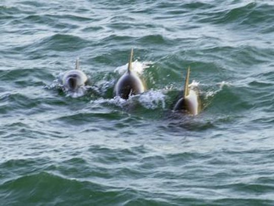 Bottlenose dolphins in the Indian River Lagoon.