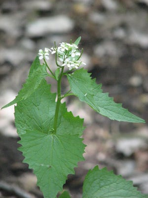 Garlic mustard in its bolting stage.