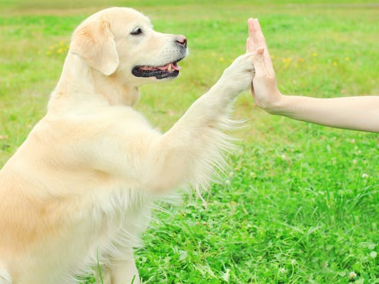 Owner training Golden Retriever dog on grass, giving paw