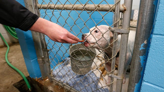 Josh Doss, shelter coordinator at Springfield Animal Control, gives a treat to Baby, a pit bull being kept in the facility.