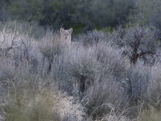 A coyote pokes its head up over the brush after crossing state Route 18 near Diamond Valley in March of 2010. A coyote pokes its head up over the brush after crossing state Route 18 near Diamond Valley in March of 2010.