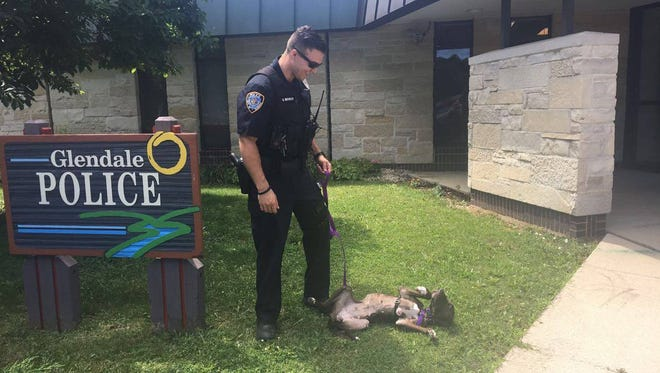 A Glendale police officer plays with Ruthie, the malnourished pitbull he adopted in July 2017. A resident rescued the dog and turned her over to police.