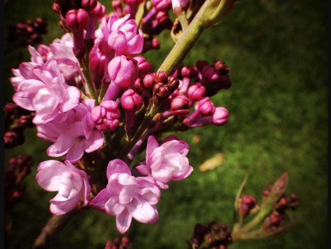 Lilacs starting to bloom in Highland Park on May 7.