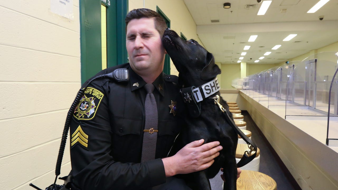 Meet Shaz, a Labrador drug-sniffing dog, at work in the visitors area of the Rockland County Jail in New City.