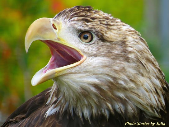One recovering eagle communicates to zoo attendees.