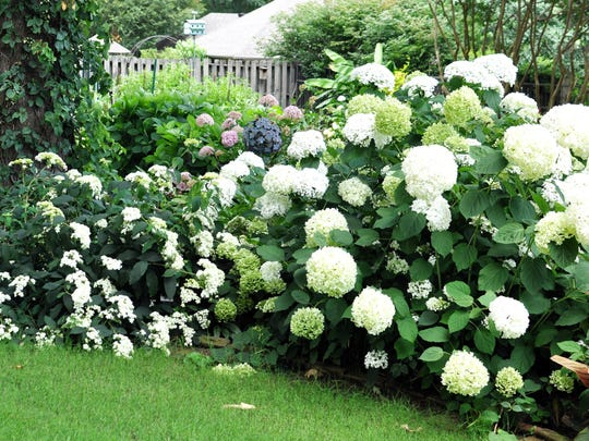Selections of native smooth hydrangea are always reliable bloomers.