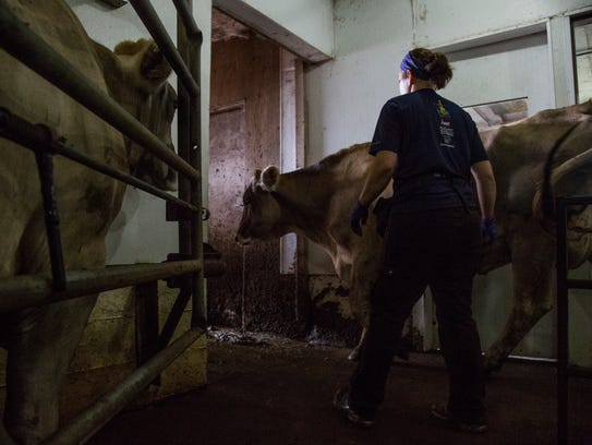 Sarah Gilbert leads a cow out of the milking room on
