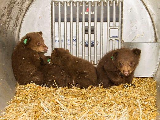 Bear cubs orphaned near Stateline, Nev., will be kept