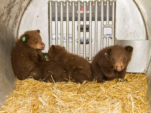 Bear cubs orphaned near Stateline, Nev., will be kept