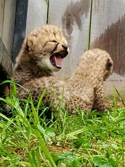 Three cheetah cubs were born at the Dickerson Park Zoo on May, 2, 2017.