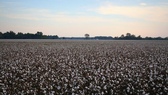Sunnyside Plantation cotton growing in Tensas Parish