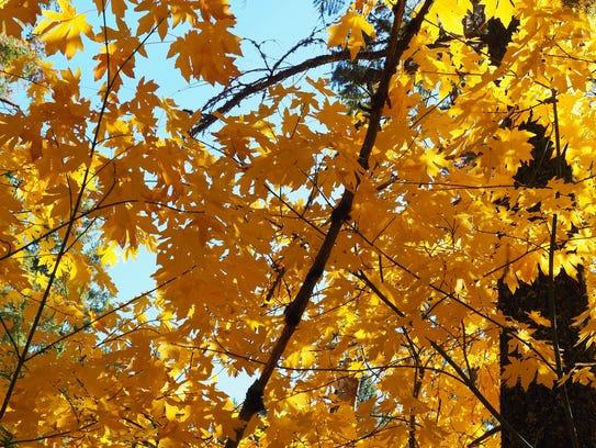 Big-leaf maple trees provide plenty of autumn color
