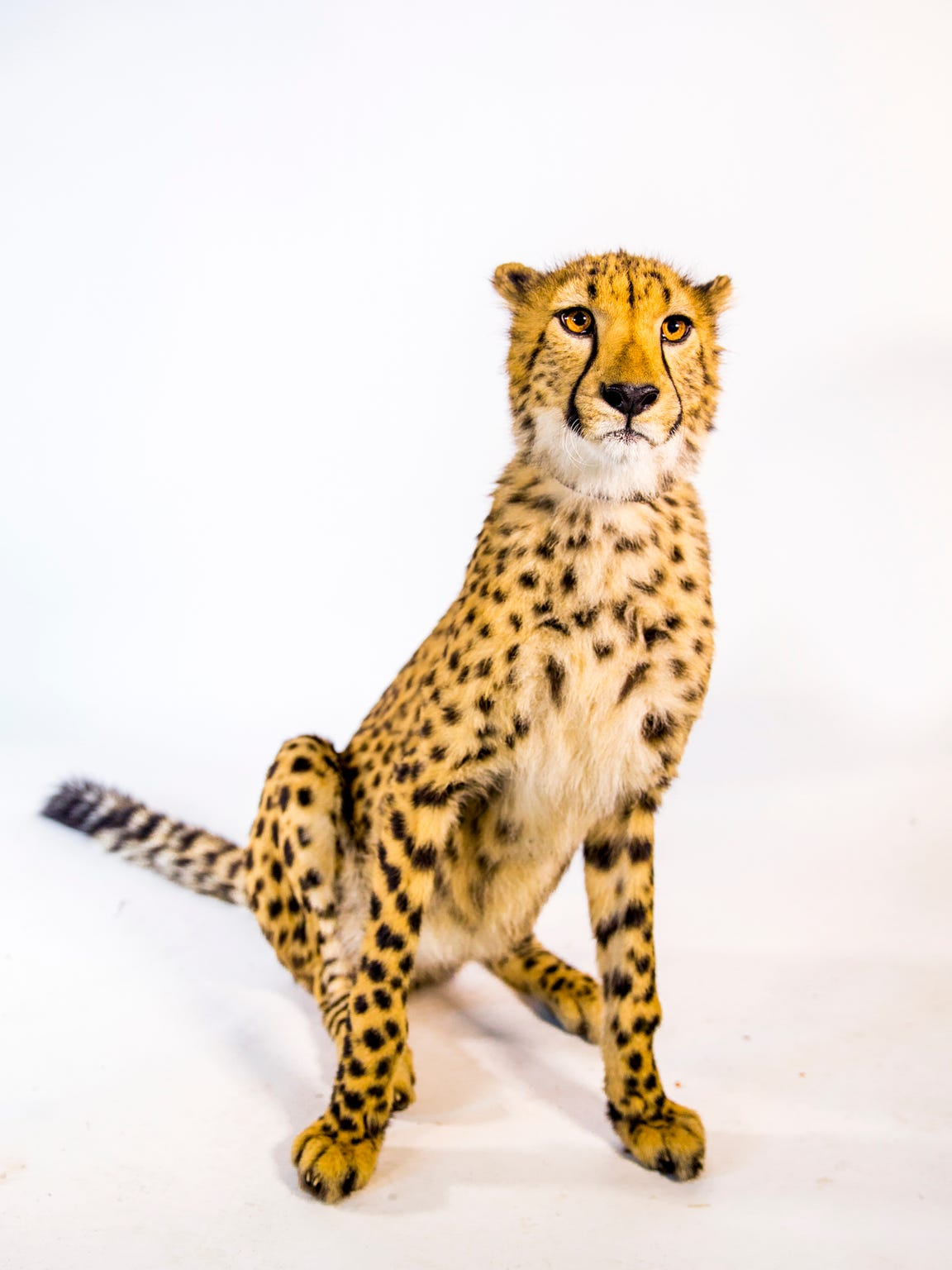 "Donni poses for a portrait. The ""tear mark"" stripes on a cheetah's face help reduce glare for daytime hunting."