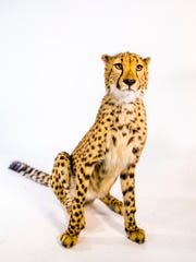 """Donni poses for a portrait. The """"tear mark"""" stripes on a cheetah's face help reduce glare for daytime hunting."""