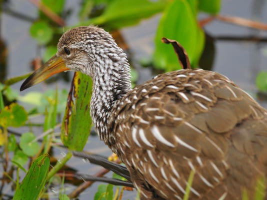 Space Coast Birding & Wildlife Festival