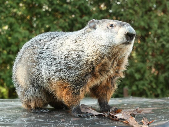 Punxsutawney Phil has been forecasting the weather