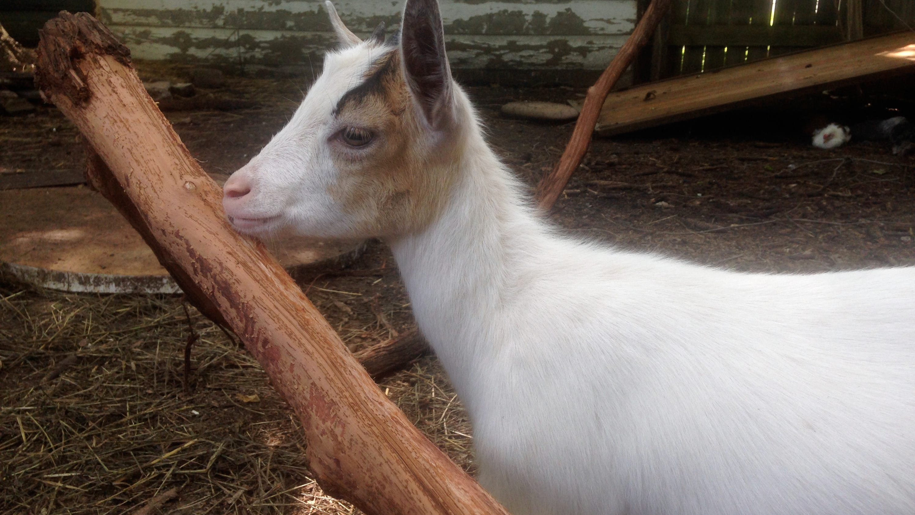fight to reclaim goats takes aim at detroit law