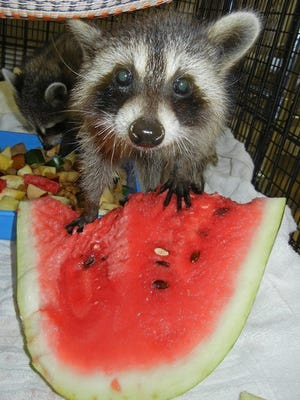 A baby raccoon in the care of the Emerald Coast Wildlife Refuge in Fort Walton Beach. The non-profit organization wants to relocate to Navarre on donated property and residents in the area are opposed to the move.