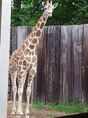 Clementine, Mesker Park Zoo's new giraffe.