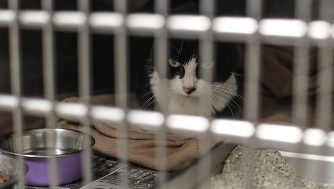 A cat evacuated from the Cranston Fire at the San Jacinto Valley Animal Campus on Thursday, July 26, 2018 in San Jacinto. Animal officials say about 70 pets remain at the facility and owners can retrieve them during its normal operating hours.