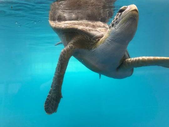 A sea turtle swims in the Tortuga Cay exhibit at the Texas State Aquarium in Corpus Christi. The Aquarium welcomed visitors back after Hurricane Harvey.