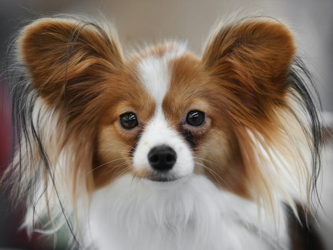 """Papillon """"Tara"""" gets set to compete during the Indy Winter Classic Dog Show held at the Indiana State Fairgrounds on Thursday, February 6, 2014."""