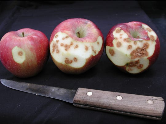 The 'Pink Lady' apple, a variety that is often the last to be harvested, is especially susceptible to stink bug feedings.